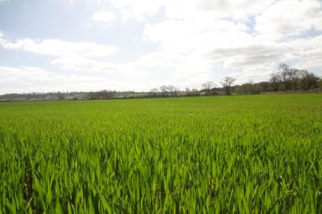 Winter Wheat Crop, Rush Farm