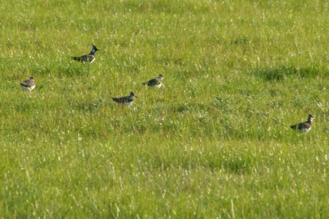 Lapwing and their chicks