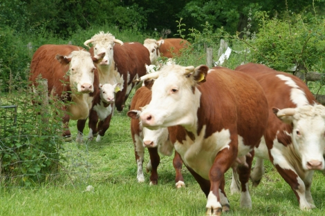 Rush Farm has traditional Herefordshire cattle, Lleyn sheep, wheat crop plus plenty of fruit and vegetables