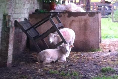 wet-lambs