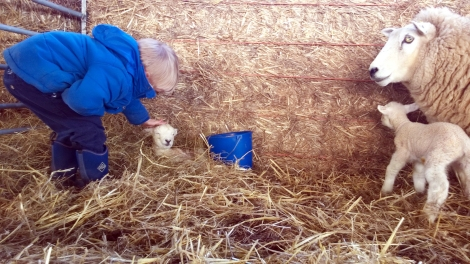 Our farming manager's grandson and pupil at Elysia Children's Garden gets involved with nature during lambing season
