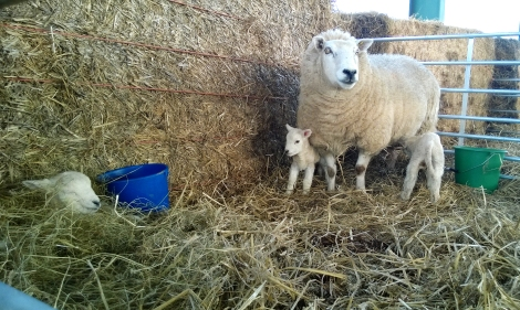 """Ewe stay back!"" Mother stands guard over her new lambs"