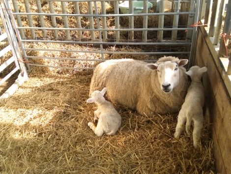 New lambs brought into the world at Rush Farm, part of Stockwood CBS