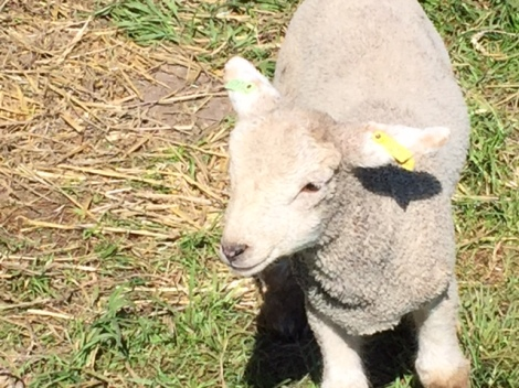One of Rush Farm's lambs enjoys the sun during 2015's AGM