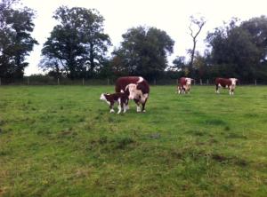 2 new calfs