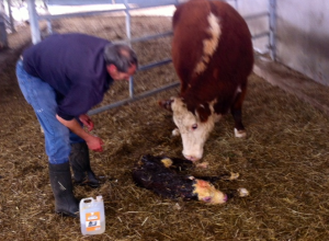 calf birth 2