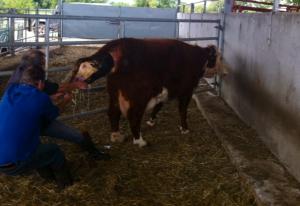 calf birth