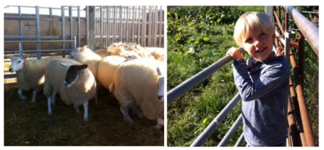 lamb drenching