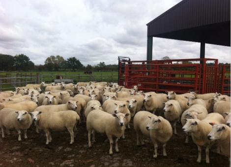sheep, post nail cutting