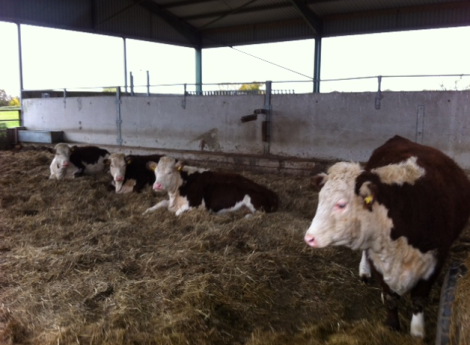 new heifers