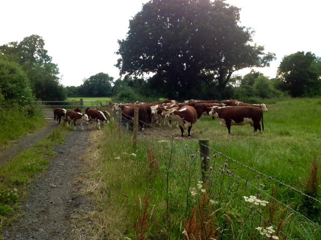 11.07.16 Escaped calves
