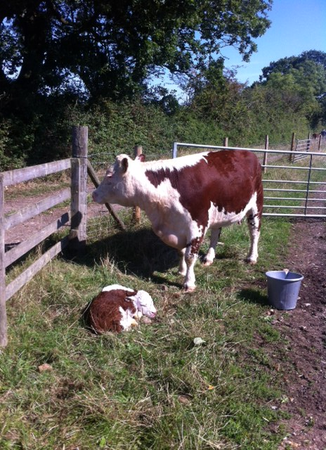 cow-and-calf