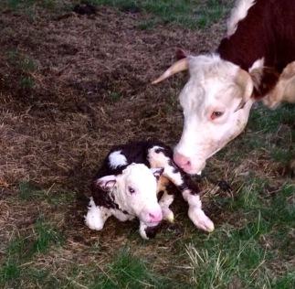new-calf2
