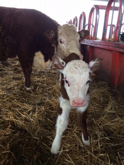 the-new-calf