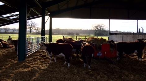the-suckler-herd-in-the-barn