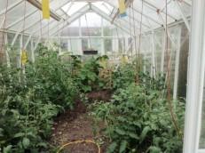 tomatoes 2017-07