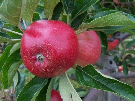 Apple_Tree_-_Worcester_Pearmain