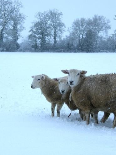 snow sheep2