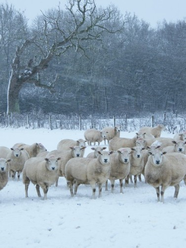 snow sheep3